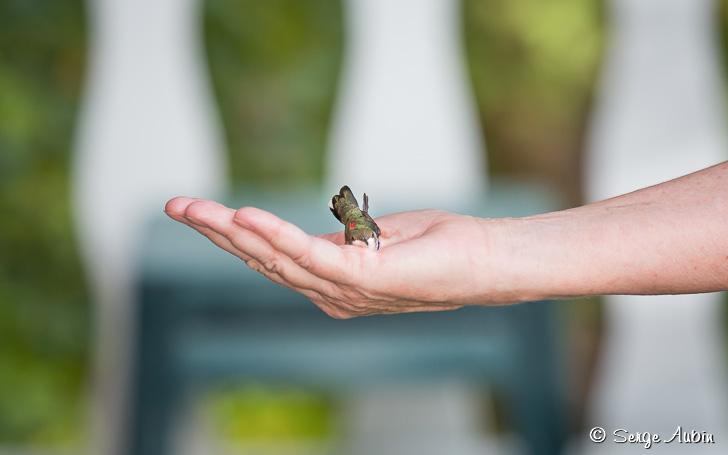 Remise en liberté du colibri