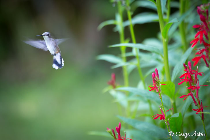 SergeAubin.ca-colibri-stoke-blog-728p-6652.jpg
